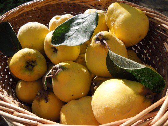 Image of a basket of quinces