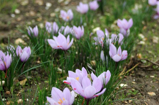 Image of a crocuses growing