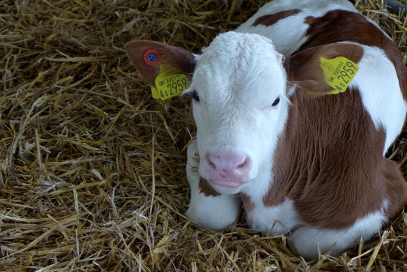 Image of Montbeliarde calf