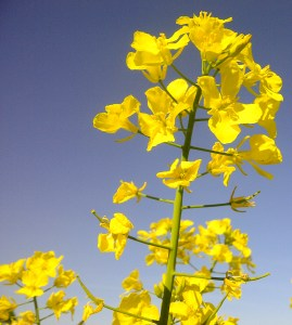 Image of rapeseed flower