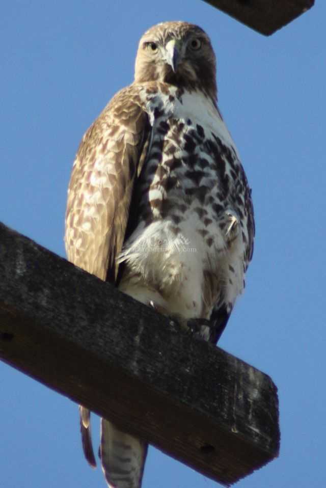 Time Spent With A Wild Hawk