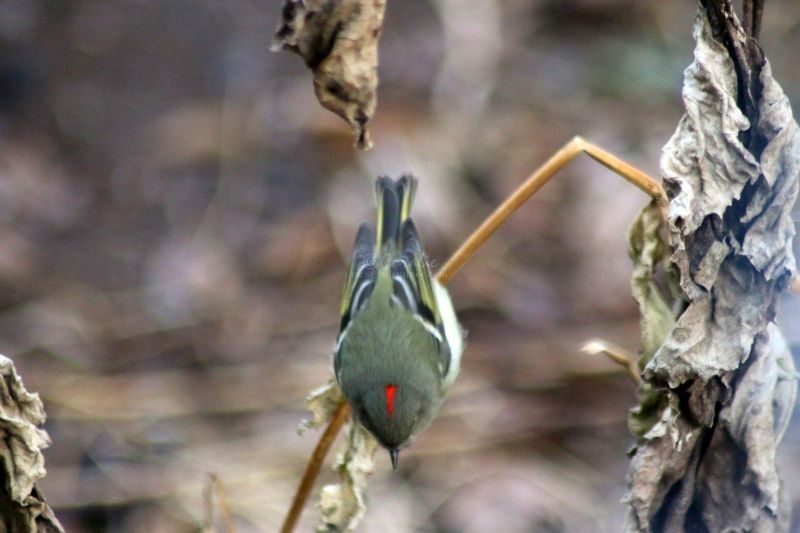 Hanging Out With A Ruby-crowned Kinglet