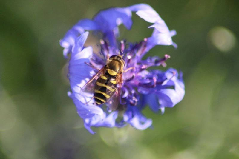 Bachelor Button Flower and The Hoverfly