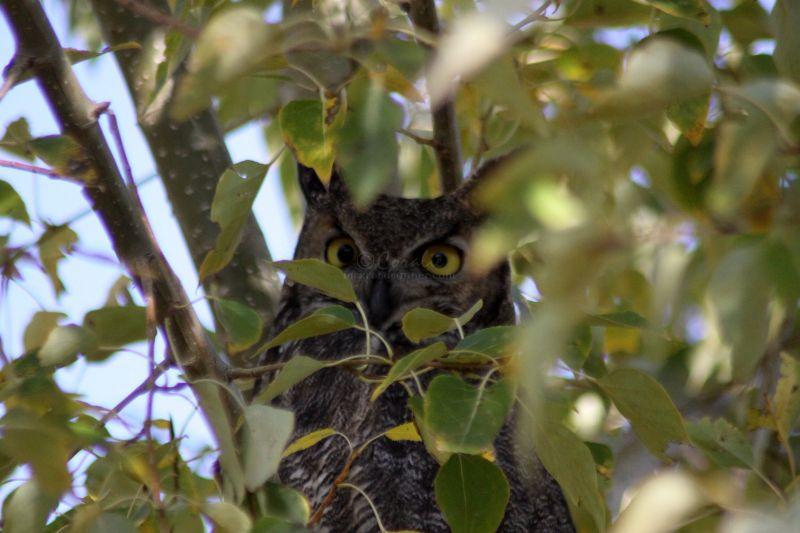 Local Owl Resident in the High Desert of Oregon