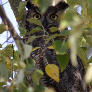wild oregon owl 245