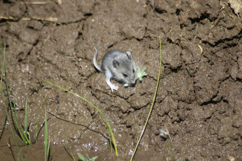 Wild Field Mouse Eating