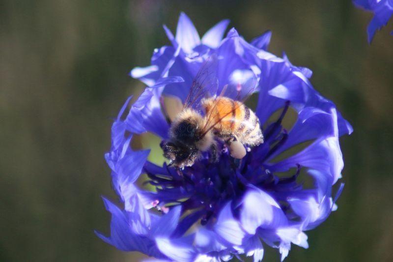 honey bee on a bachelor button flower
