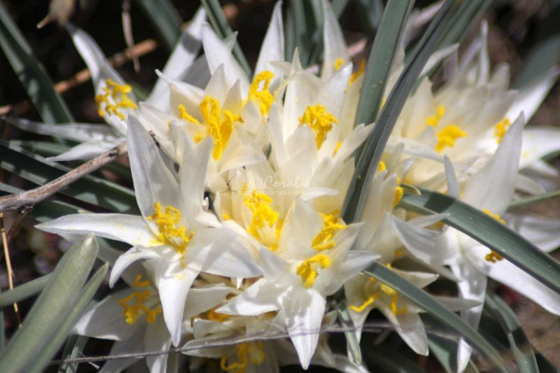 Sand Lily Growing in Jefferson County Oregon