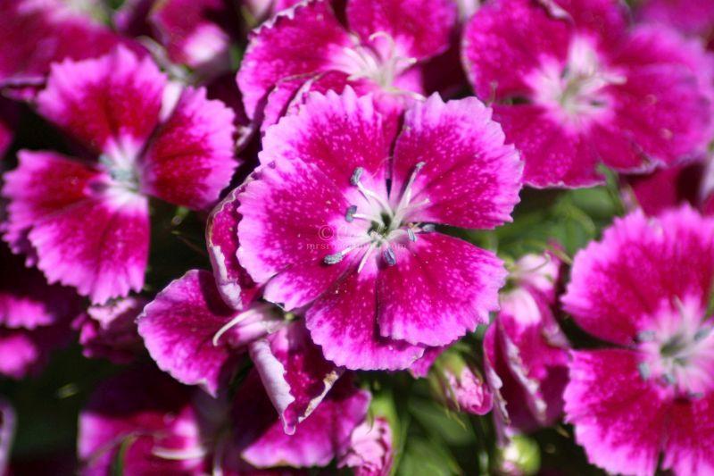 Sweet William Flowers