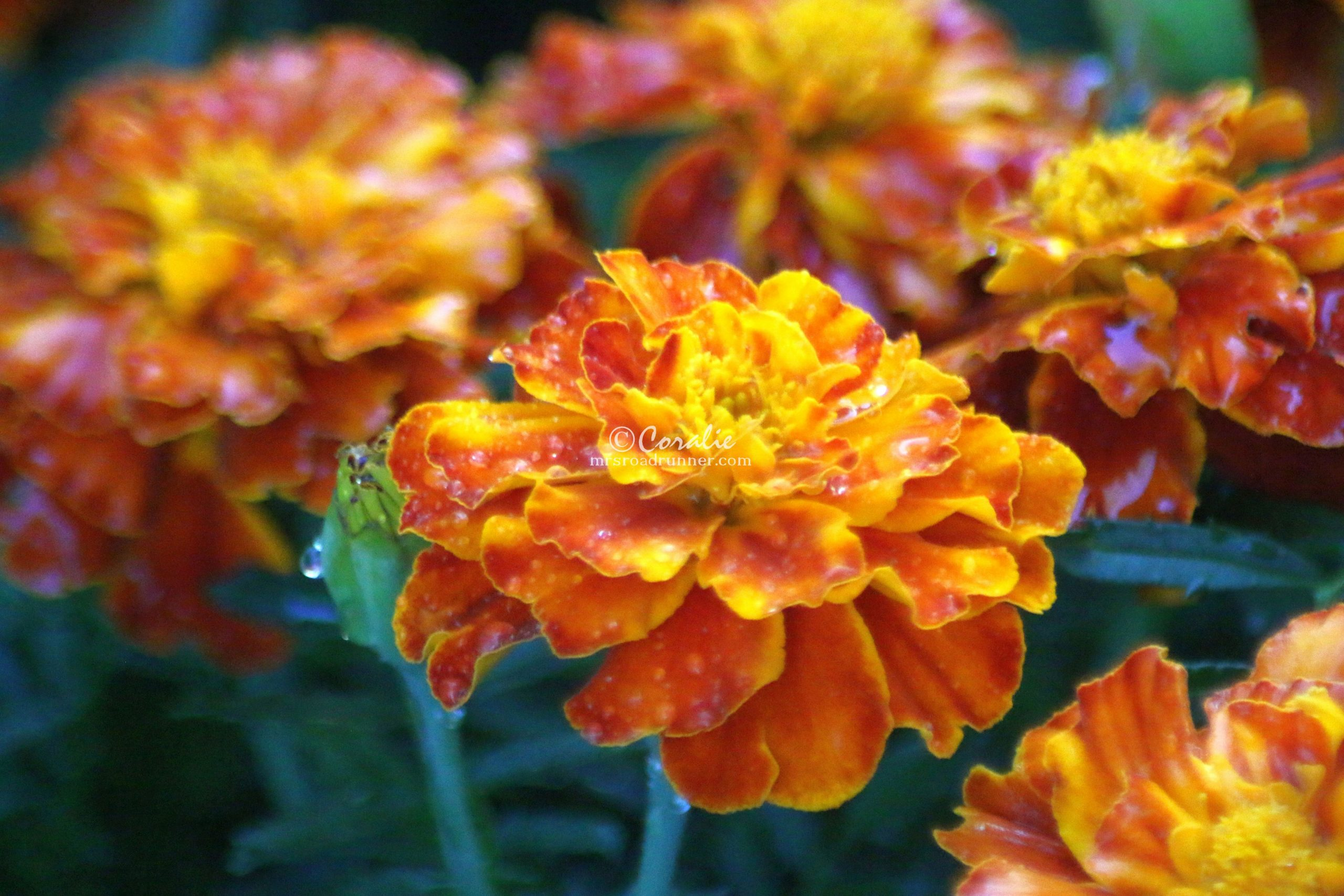 Marigold Flowers Blooming in Oregon