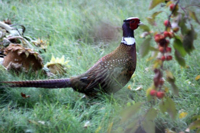 Pheasant At My Garden