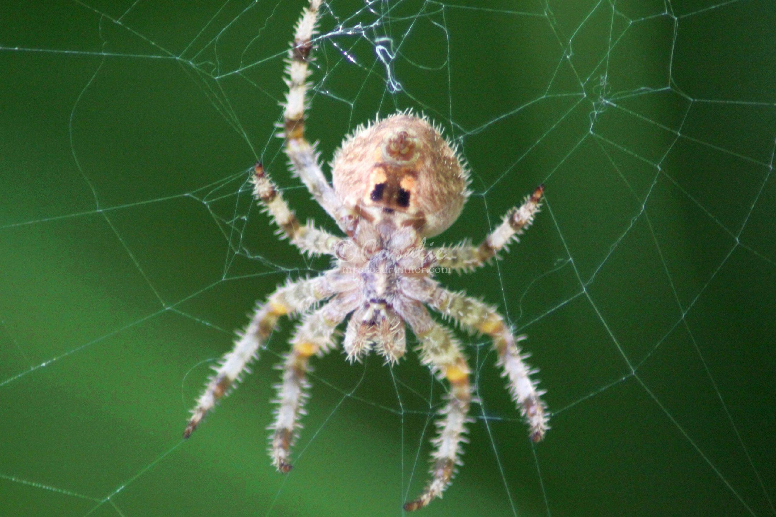 Central Oregon Garden Spider
