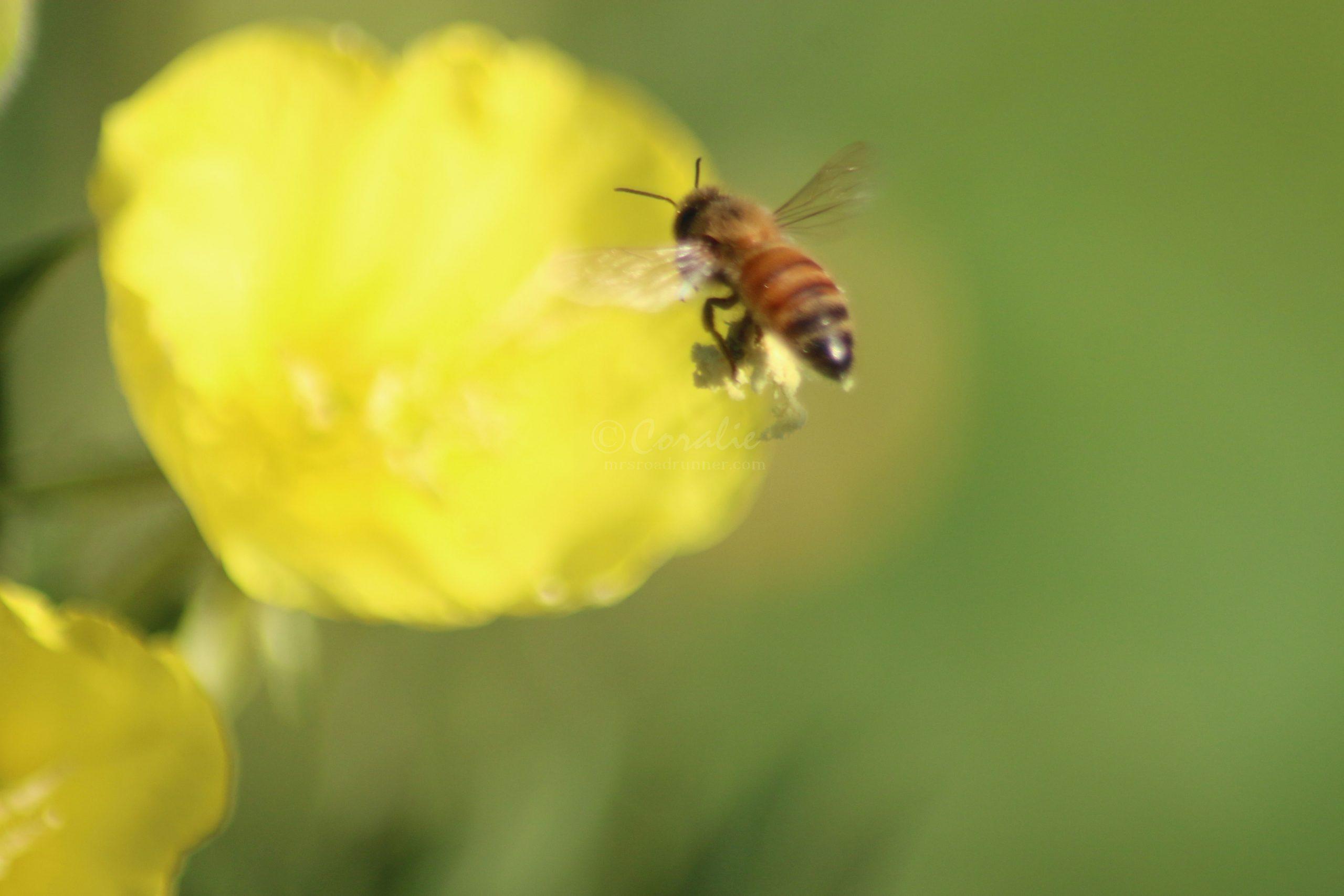 Honeybee On A Ozark Sundrop Flower