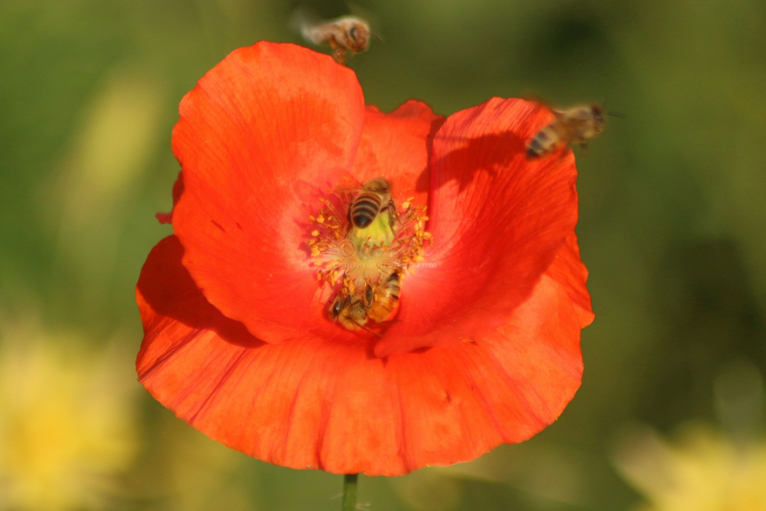 Honeybees on The Red Poppy Flowers