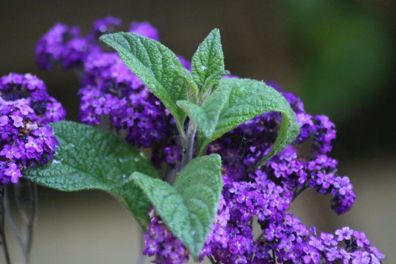 Heliotrope Flower Bloom