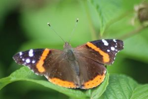 Oregon Red Admiral Butterfly