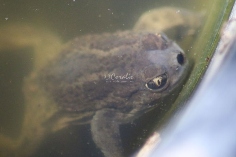 Spadefoot Toad Back in Oregon