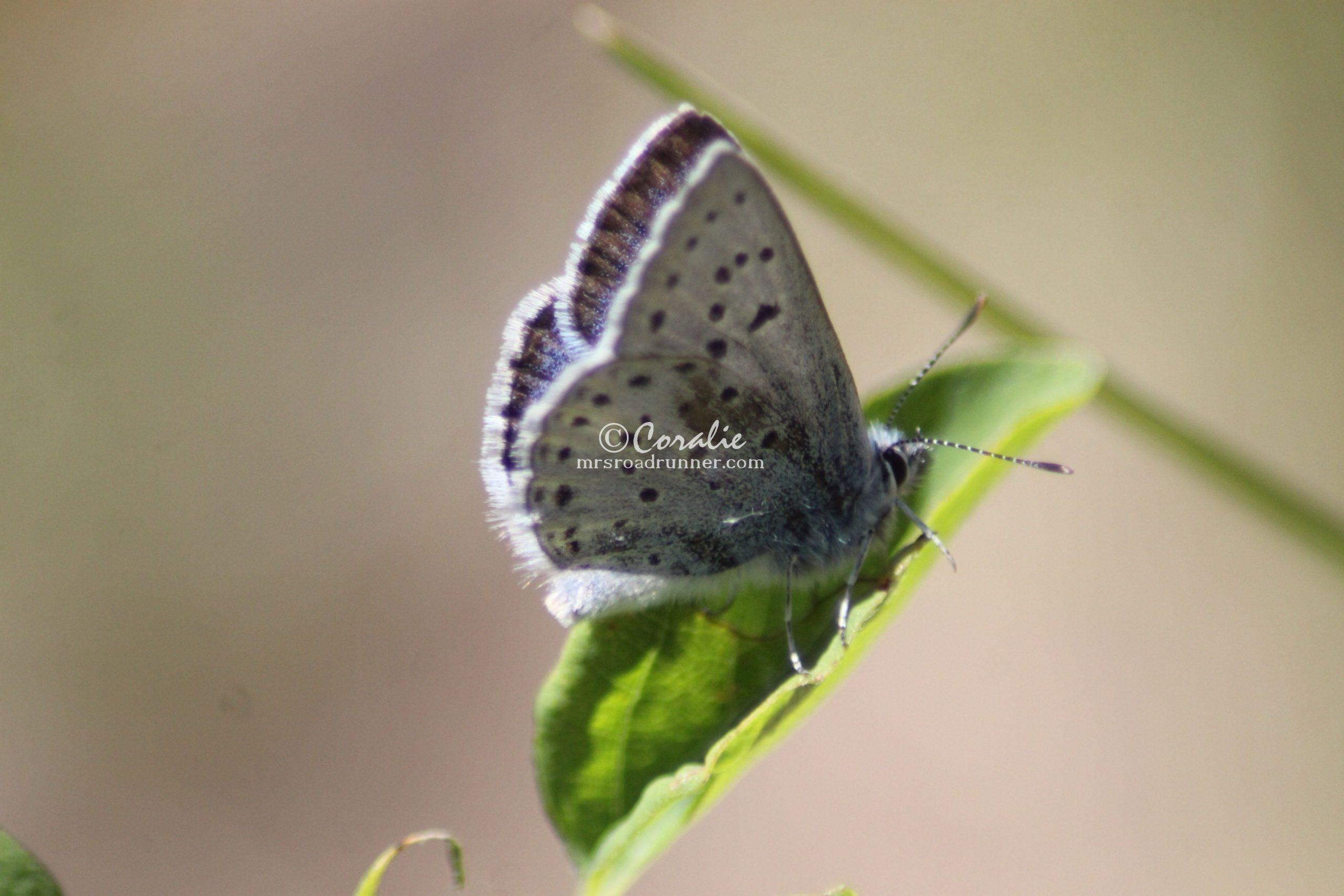 Fenders Blue Butterfly