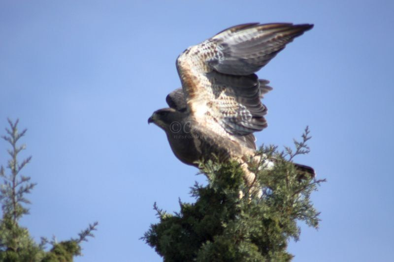 Red-tailed Hawk In The High Desert
