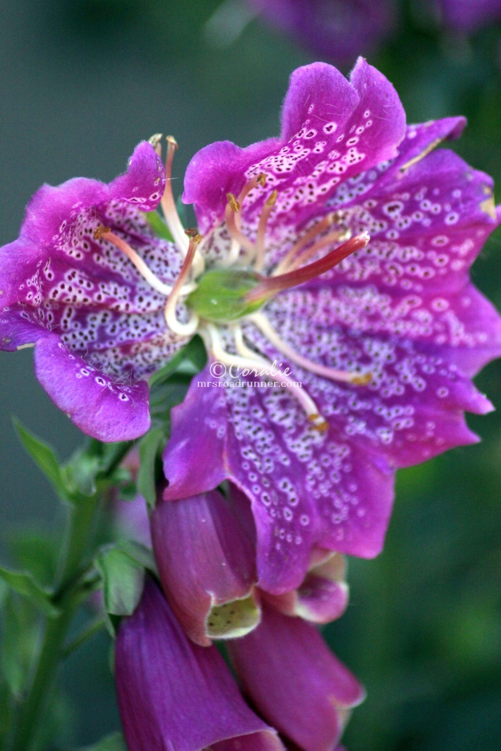 Foxglove Hybrid Flower