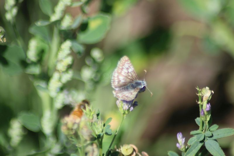 Checkered Skipper Butterfly In The High Desert