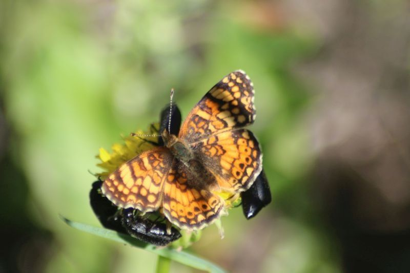 Mylitta Crescent Butterfly And Beatles