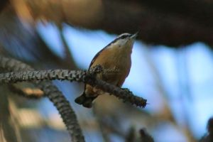 Red breasted Nuthatch Visiting