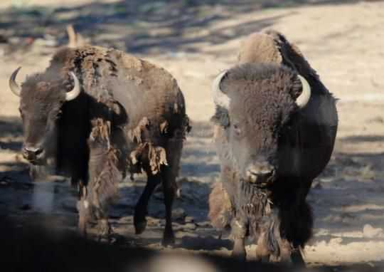 Buffalo In Oregon