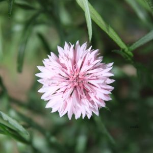 Bachelor Button Flower 021 Print Download
