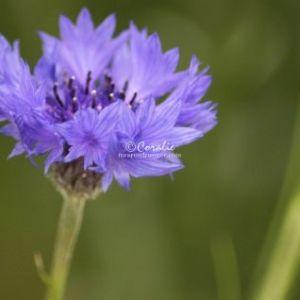 Bachelor Button Flower 325 Web Download