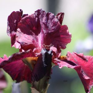 Bearded Iris Flower 008 Print Download