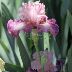 Bearded Iris Flower 122 Print Download
