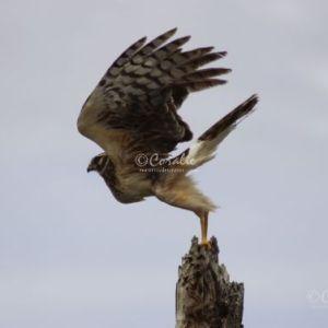 Wild Harrier Wings Up 5310 Web Download