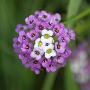 Alyssum Small Flower Bloom 142 Web Download