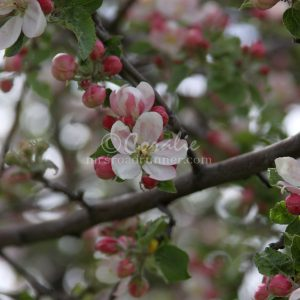 Apple Tree Blossom Flower 084 Print Download