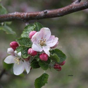 apple tree flowers 091