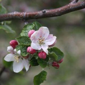 apple tree flowers 091 Web Download