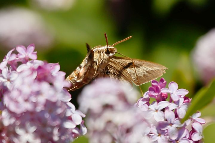 Hawk Moth On The Lilac Flowers