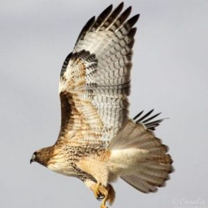 Red Tailed Hawk Eating 1057 Web Download