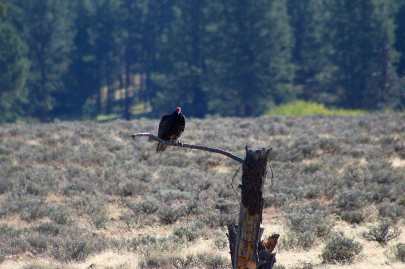 Turkey Vulture Feeding In The Ochoco Mountains