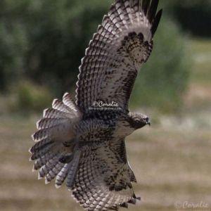 Wild Hawk Wings Spread 1484 Web Download