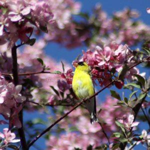 American Goldfinch Bird 427 Print Download