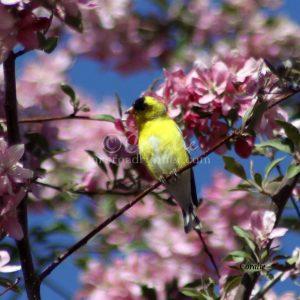 American Goldfinch Bird 440 Print Download