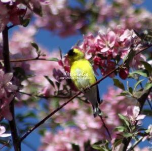 American Goldfinch Bird 440 Web Download