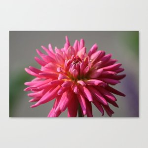 Colorful Dahlia Flower Bloom Canvas Print
