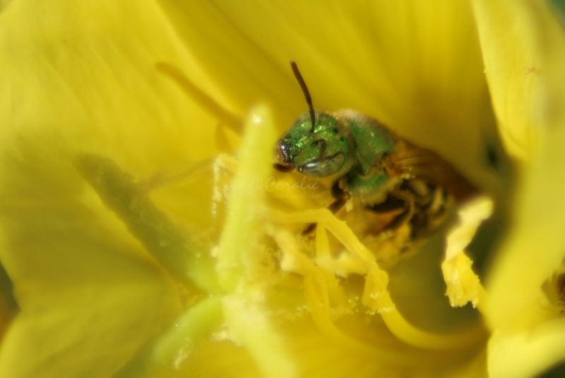 sweat bee on a Ozark Sundrop Flower