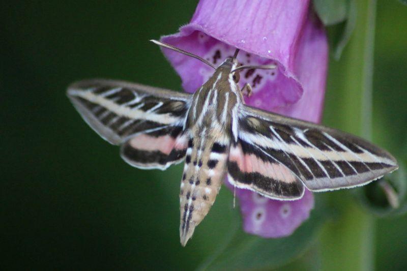 hummingbird or hawk-moth 347