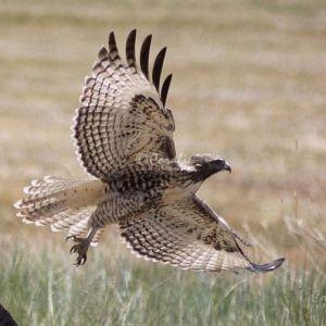 Hawk In All Its Glory 1481 Web Download