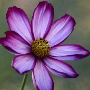 Cosmos Flower Bloom 288 Print Download