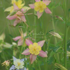 Columbine Flower Bloom 039 Print Download